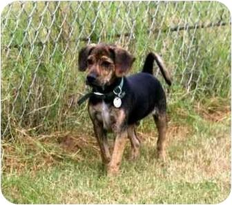 Beagle Mix Dog for adoption in Muldrow, Oklahoma - Zoe