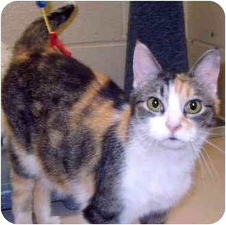 Calico Cat for adoption in Grass Valley, California - Kibber