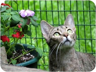 Domestic Shorthair Cat for adoption in Columbia, Maryland - Grace, Brandy and Coco