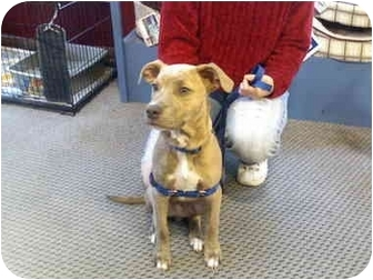 Pit Bull Terrier Mix Puppy for adoption in Saginaw, Michigan - Charlie~ADOPTED
