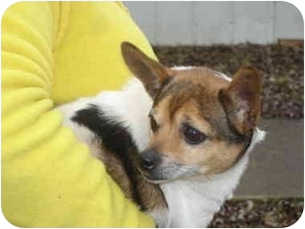 Chihuahua/Rat Terrier Mix Dog for adoption in Olney, Illinois - Secret