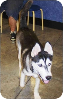 Siberian Husky Puppy for adoption in Jacksonville, Florida - Capone