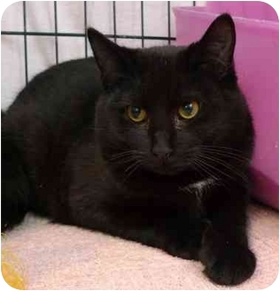 Domestic Shorthair Kitten for adoption in Troy, Michigan - Odem