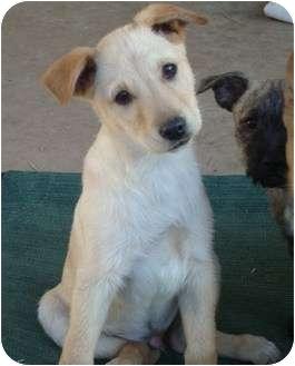 Golden Retriever/Labrador Retriever Mix Puppy for adoption in Phoenix, Arizona - Macaroni - Pasta Puppy