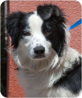 Border Collie Dog for adoption in Denver, Colorado - Ava