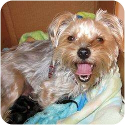 Yorkie, Yorkshire Terrier Dog for adoption in Hardy, Virginia - Lindie