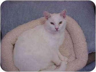 Domestic Shorthair Cat for adoption in Burnsville, North Carolina - Stone