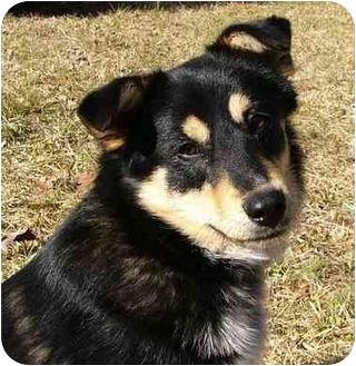 Sheltie, Shetland Sheepdog/Australian Shepherd Mix Dog for adoption in Mocksville, North Carolina - Nikki