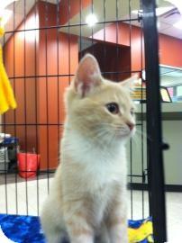 Domestic Shorthair Kitten for adoption in Columbus, Georgia - Kim 5A0D