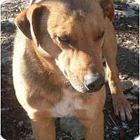 Adopt A Pet :: Brownie - Harrison, AR