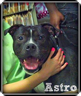 American Staffordshire Terrier/Labrador Retriever Mix Dog for adoption in Wantagh, New York - Astro