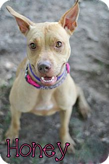 Pit Bull Terrier Mix Puppy for adoption in Groveland, Florida - Honey