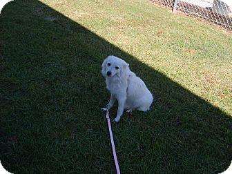 American Eskimo Dog Dog for adoption in West Warwick, Rhode Island - Shasta
