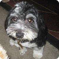 Adopt A Pet :: Precious - Playa Del Rey, CA