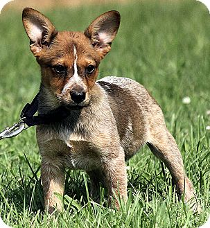 Australian Cattle Dog Mix Puppy for adoption in Plainfield, Connecticut - Evie