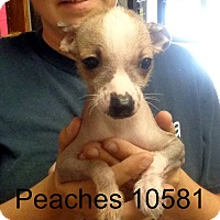 Adopt A Pet :: Peaches - Greencastle, NC