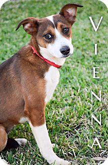 Shepherd (Unknown Type) Mix Puppy for adoption in DFW, Texas - Vienna