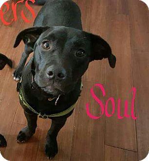 Labrador Retriever Mix Puppy for adoption in WESTMINSTER, Maryland - Soul