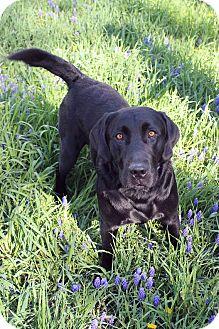 Labrador Retriever Mix Dog for adoption in Westminster, Colorado - Buck