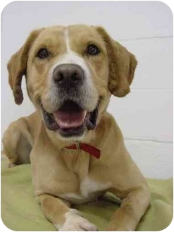 Labrador Retriever/Hound (Unknown Type) Mix Dog for adoption in Westfield, New York - Brando