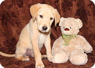 Labrador Retriever Mix Puppy for adoption in Newark, New Jersey - Bingly