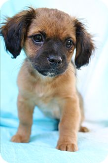 Dachshund/Pekingese Mix Puppy for adoption in Bedminster, New Jersey - Tabby