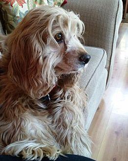 Cocker Spaniel Dog for adoption in Santa Barbara, California - Copper