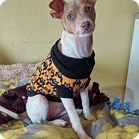 Adopt A Pet :: Pax - Ft. Collins, CO