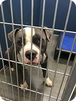 Pit Bull Terrier Mix Dog for adoption in Henderson, North Carolina - Eddie