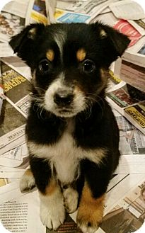 Border Collie/English Setter Mix Puppy for adoption in Chicago, Illinois - Ernie*ADOPTED*