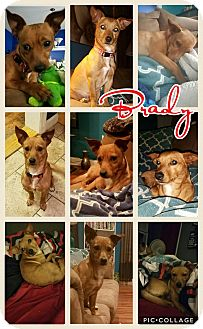 Chihuahua/Terrier (Unknown Type, Small) Mix Dog for adoption in East Hartford, Connecticut - Brady-pending adoption