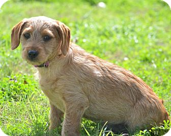 Corgi/Basset Hound Mix Dog for adoption in Cat Spring, Texas - Ginger