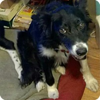 Adopt A Pet :: Gabriel (treating for heartworm) - Highland, IL