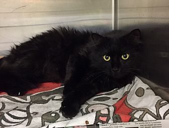 Domestic Mediumhair Cat for adoption in Manchester, New Hampshire - Royce
