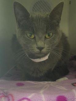 Domestic Shorthair/Domestic Shorthair Mix Cat for adoption in Seneca, Pennsylvania - Habnero