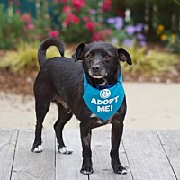 Adopt A Pet :: Cheekie - Pacific Grove, CA
