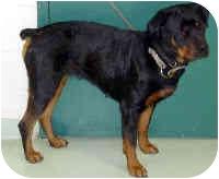 Rottweiler Dog for adoption in Oswego, Illinois - MILKSHAKE