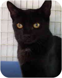 Domestic Shorthair Cat for adoption in Bloomingdale, New Jersey - Abby