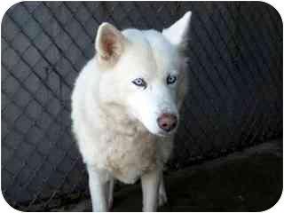Husky Dog for adoption in Arlington Heights, Illinois - Jennifer