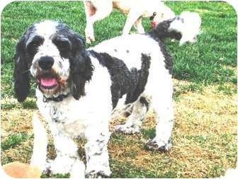 Cocker Spaniel/Poodle (Standard) Mix Dog for adoption in Winnetka, California - OREO