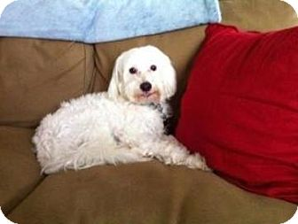 Chinese Crested Dog for adoption in Gilford, New Hampshire - Bouncer (MS)