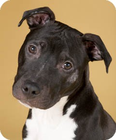 American Pit Bull Terrier/American Staffordshire Terrier Mix Dog for adoption in Chicago, Illinois - Taz