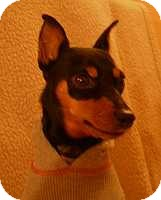 Miniature Pinscher Dog for adoption in Syracuse, New York - Remy