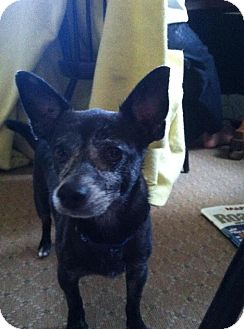 Terrier (Unknown Type, Small)/Chihuahua Mix Dog for adoption in Madison, New Jersey - Pirata