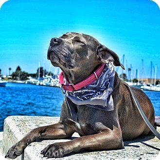 American Pit Bull Terrier/Labrador Retriever Mix Dog for adoption in San Diego, California - Dina