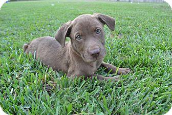 Labrador Retriever Mix Puppy for adoption in New Boston, Michigan - Magnolia