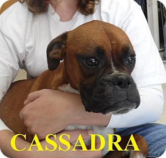 Boxer Dog for adoption in Franklin, North Carolina - CASSADRA