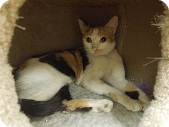 Domestic Shorthair Cat for adoption in Medina, Ohio - Prada