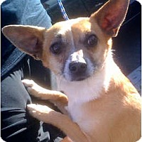 Adopt A Pet :: Rockee Starr(PRA) - Porter Ranch, CA