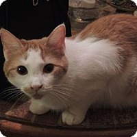 Domestic Shorthair Cat for adoption in Coal City, West Virginia - Gabby